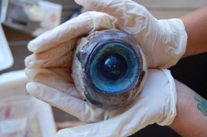 Huge blue eye found on a beach october 2012